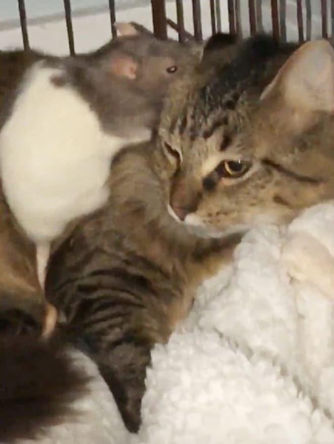 Крыса с котом