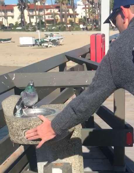 голубь пьет воду рис 2