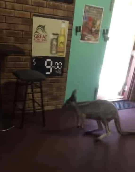 кенгуру в баре
