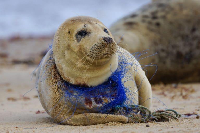 тюлень с сеткой на шее
