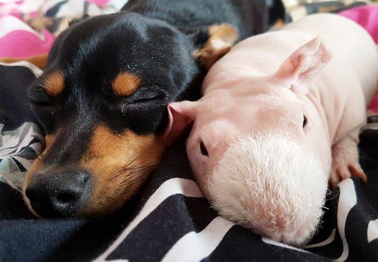 собака дружит с морской свинкой