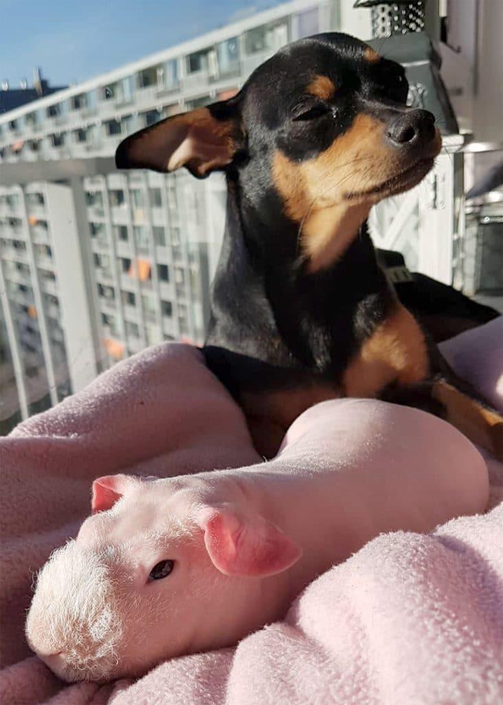 собака и морская свинка