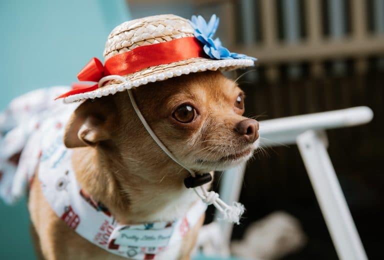 собака в шляпке