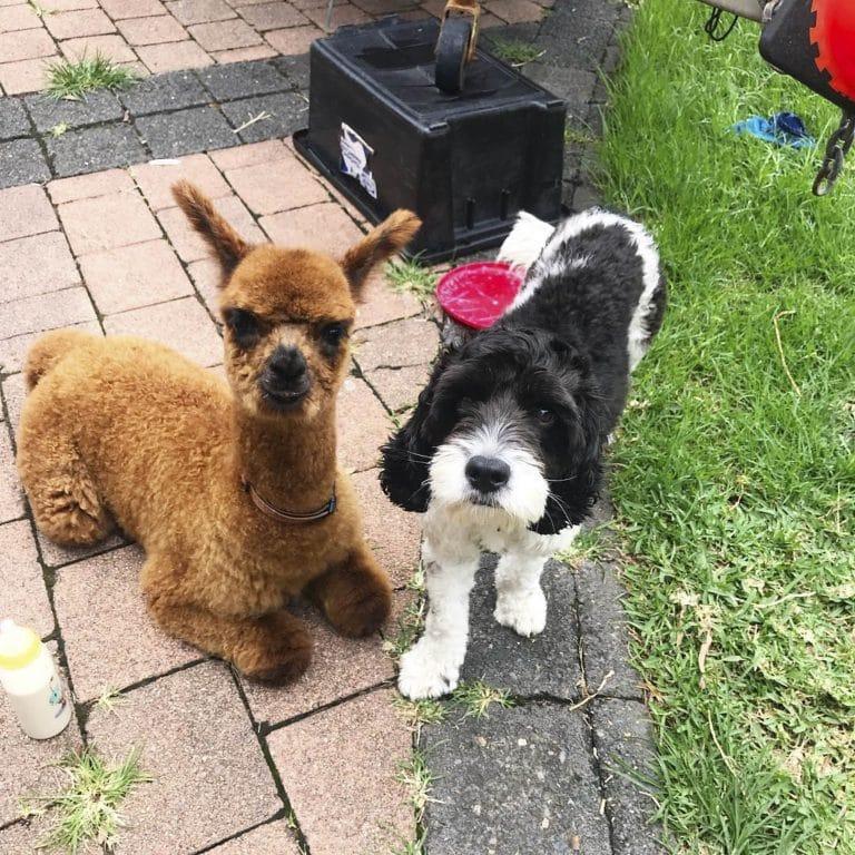 альпака и пес