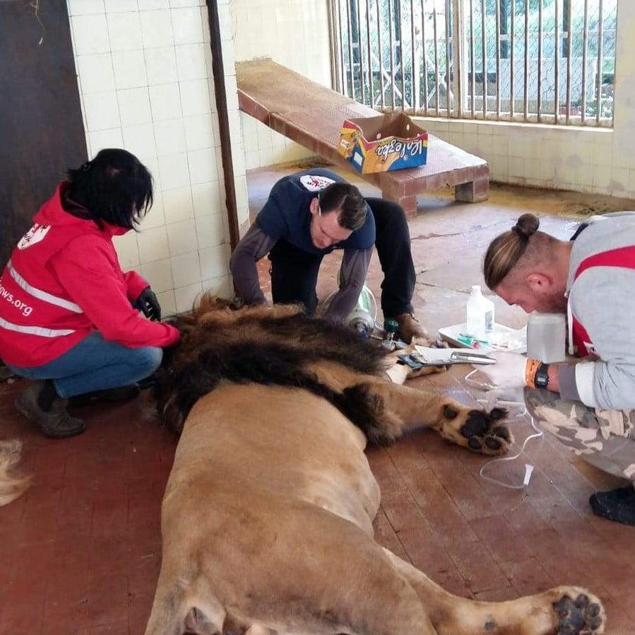 спасение льва
