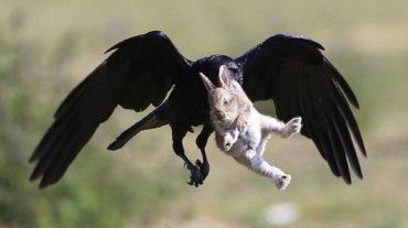 bunny and crow