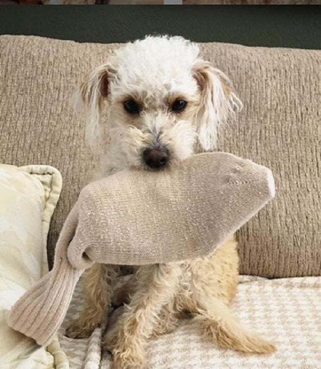 Собака с носком