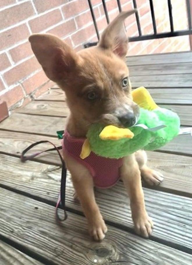 Щенок держит игрушку