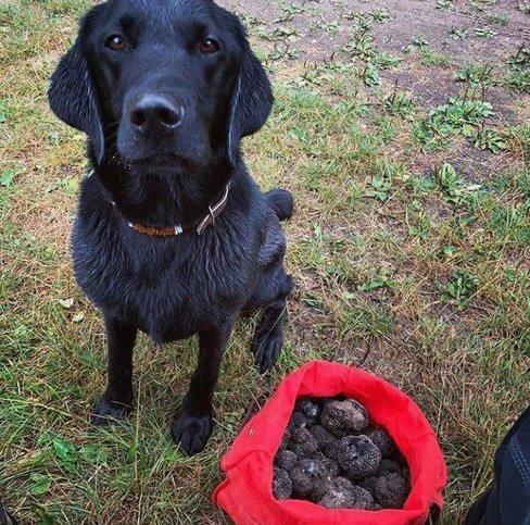собака с трюфелями