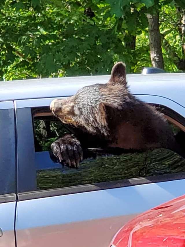 медведи в машине