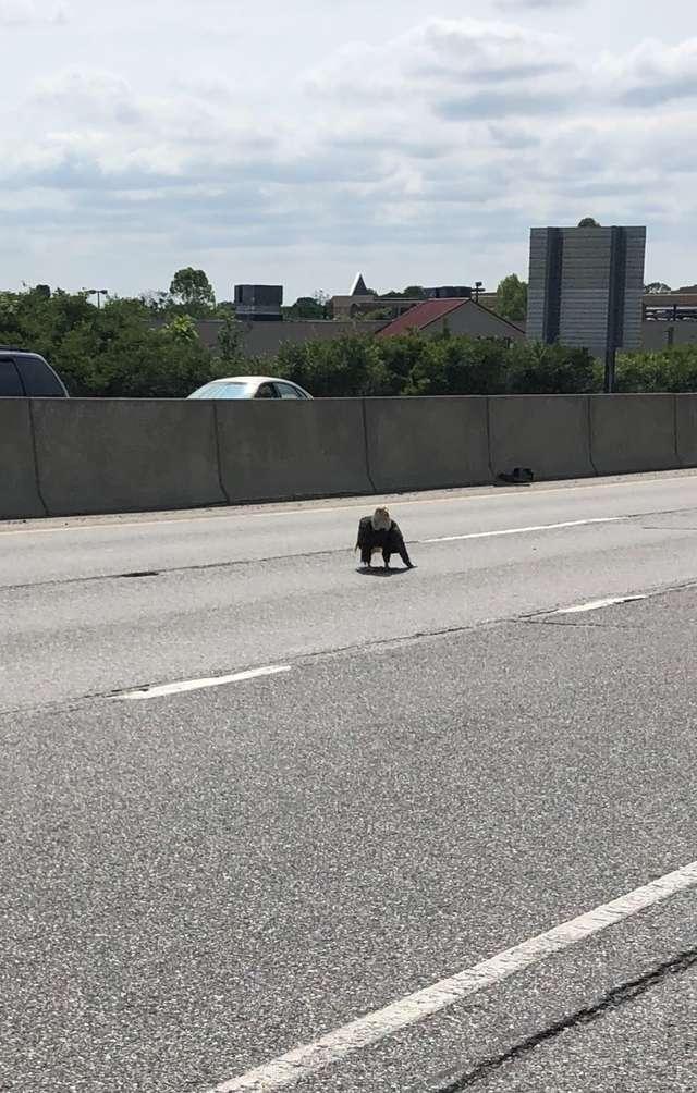 орел на дороге