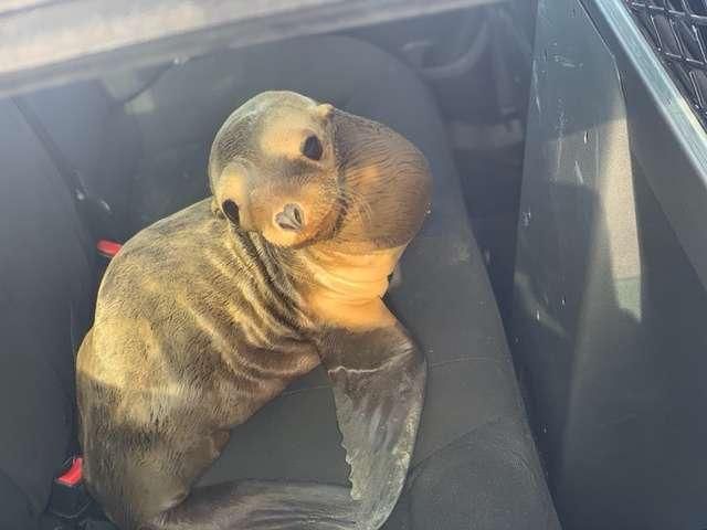 морской лев в машине