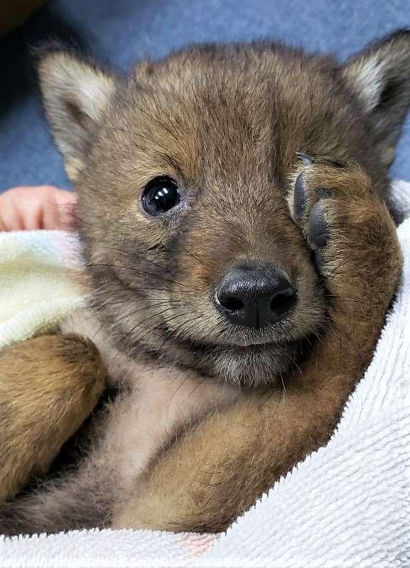 щенок койота