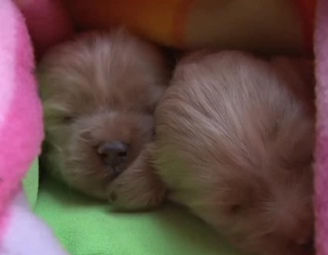 Крохотные щенки