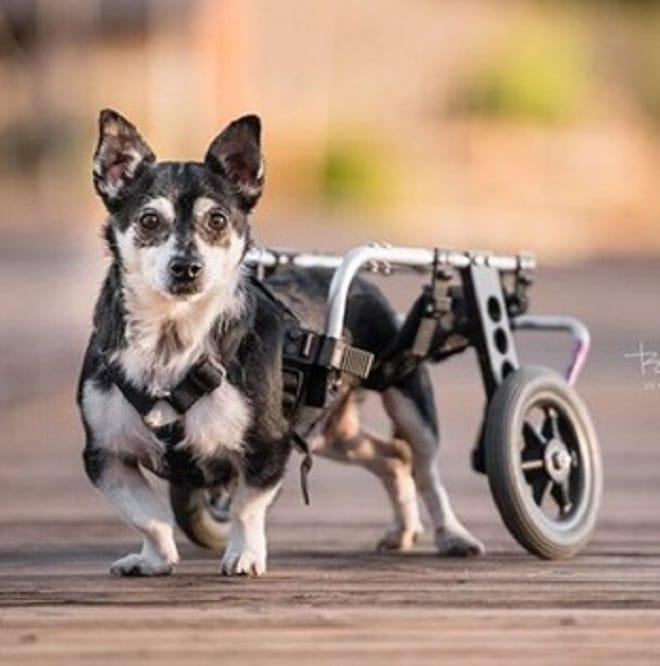 Песик с коляской