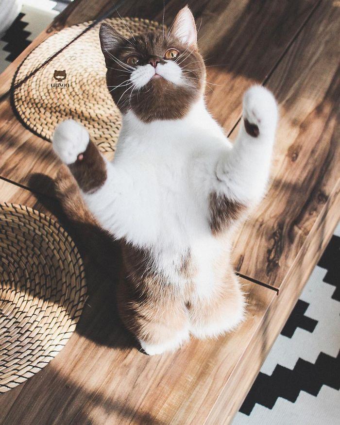кошка стоит на задних лапках