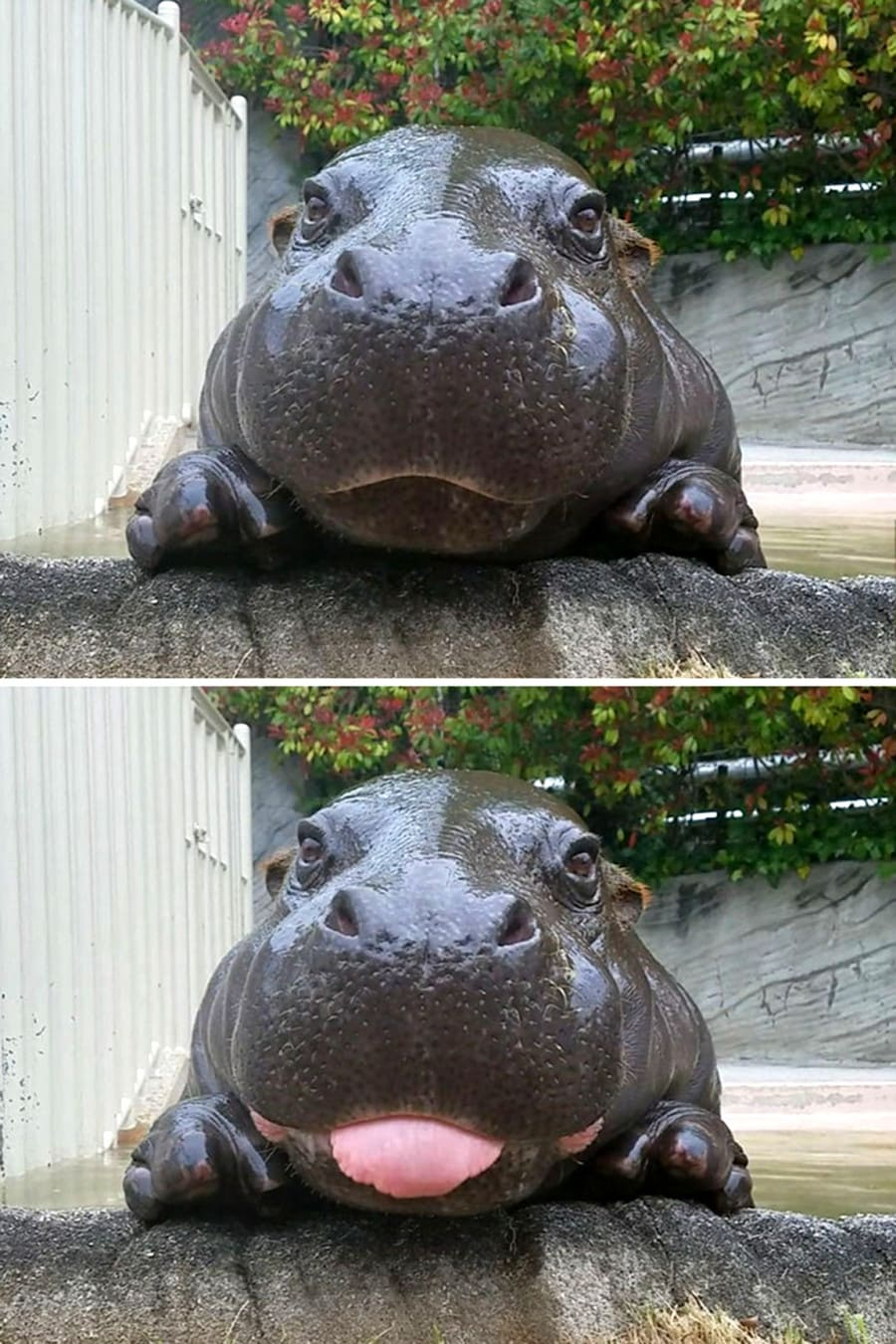 бегемот улыбается