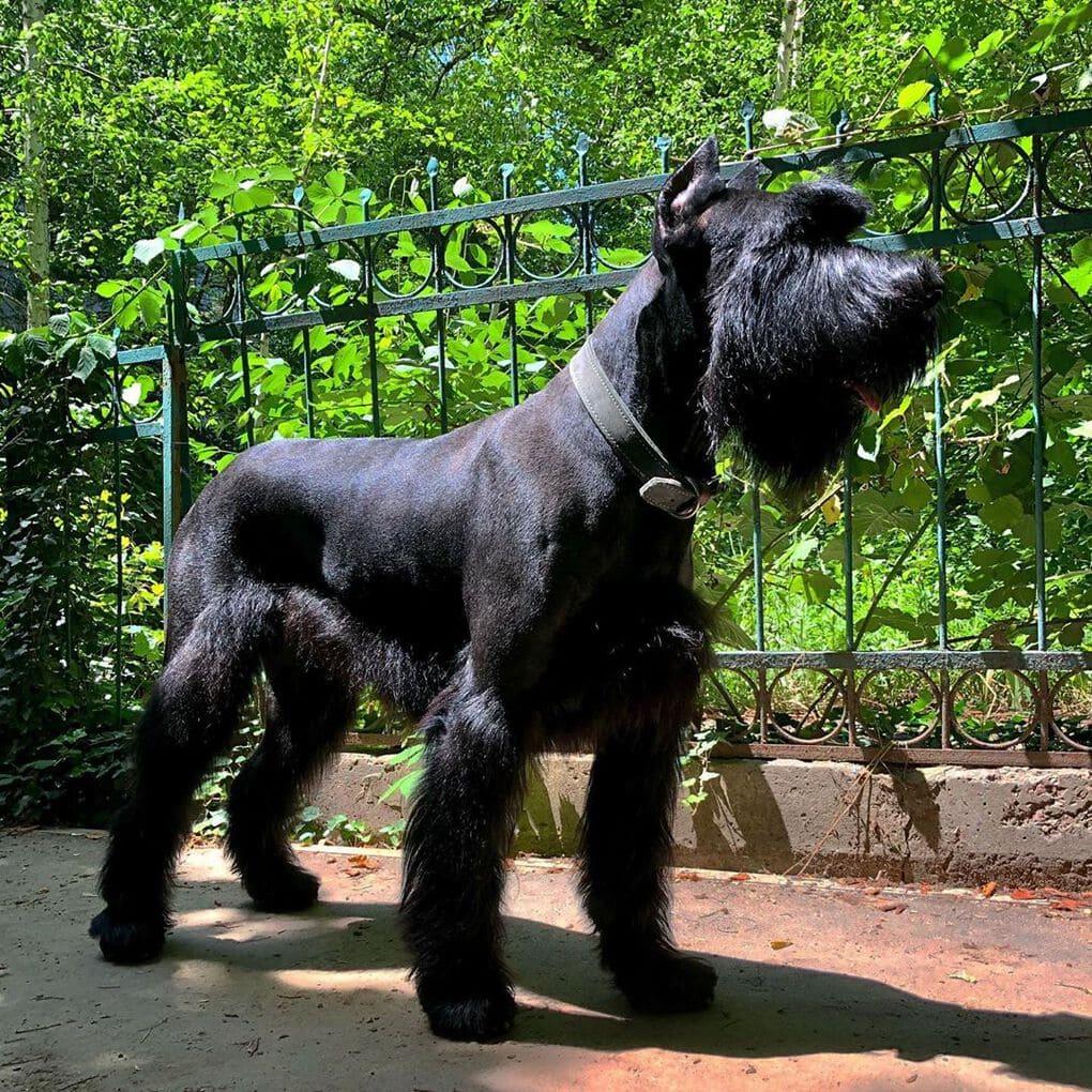 черный пес