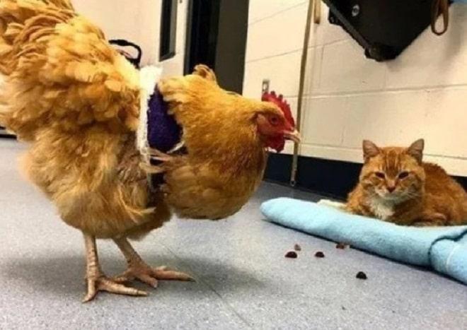 Курица и кот