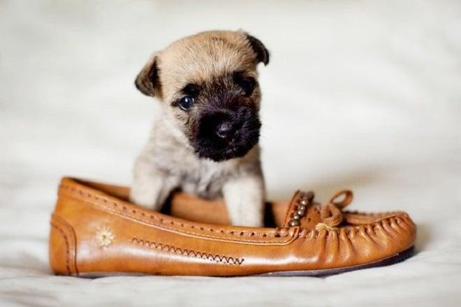 Щенок в туфле