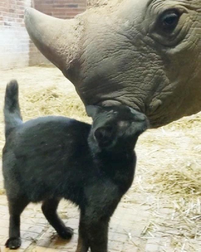 Кошка и носорог