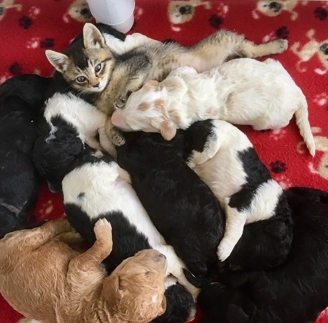 Котенок среди щенков