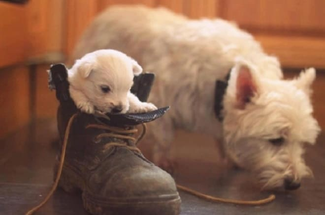 Щенок в ботинке