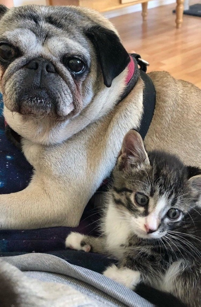 Мопс и котенок