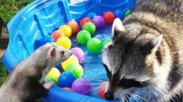 raccoon, ferret and balls