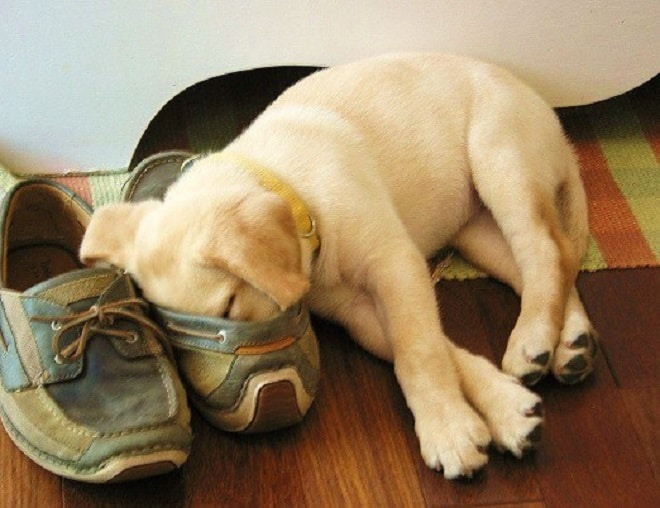 Щенок спит на обуви