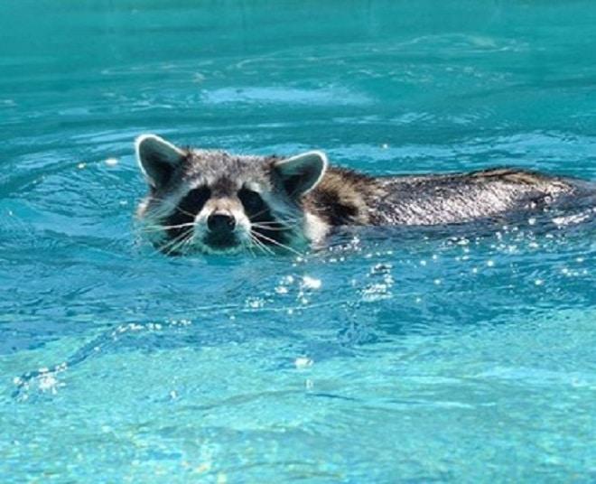 Енот в бассейне