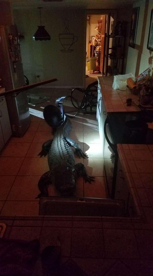 аллигатор в доме
