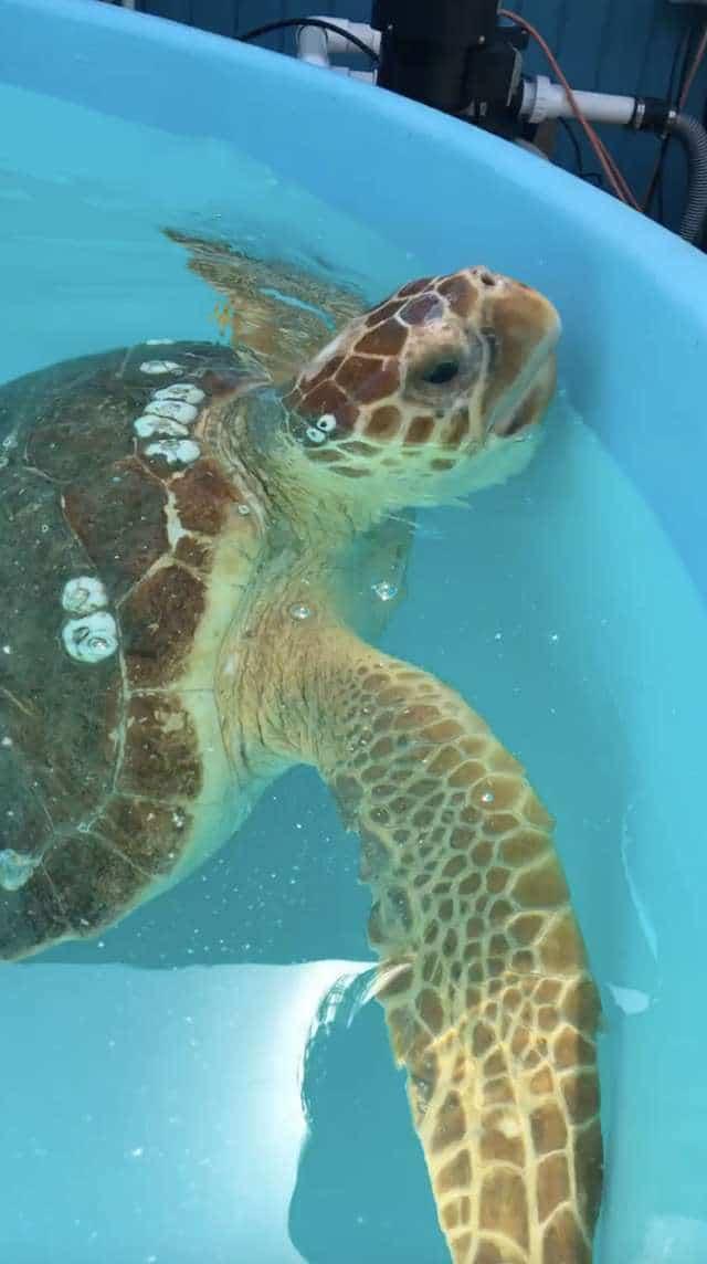 черепаха в воде