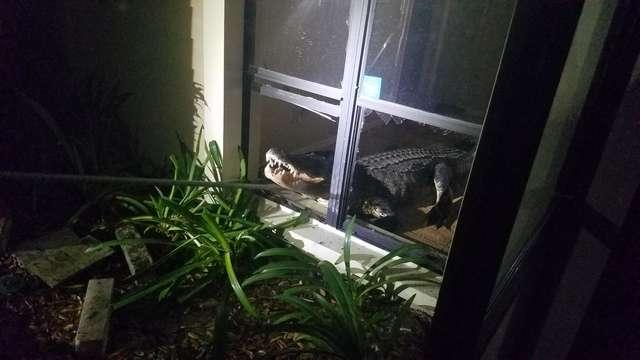 аллигатор у окна