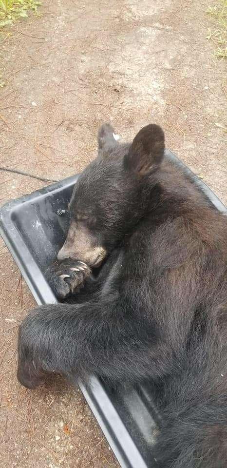 спящий медведь
