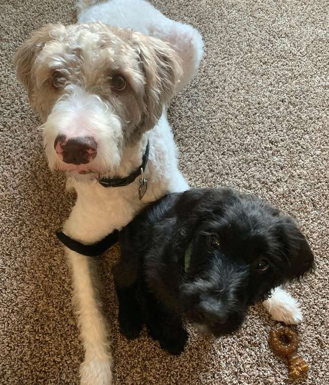 две собаки