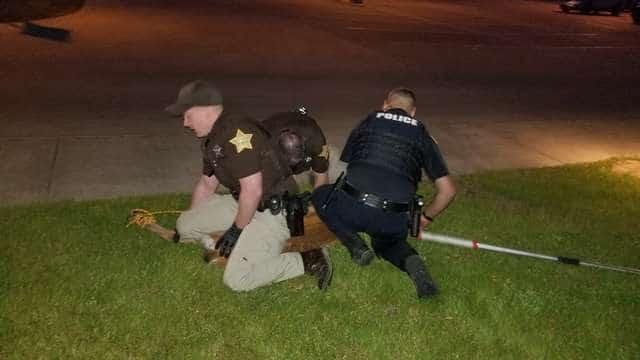 полицейские поймали оленя