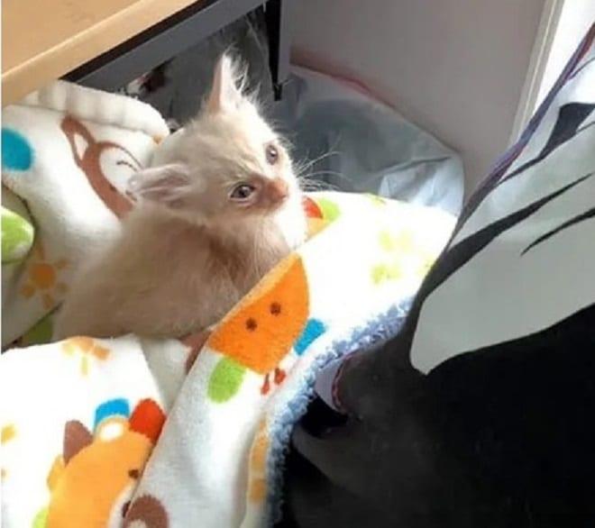 Бежевый котенок
