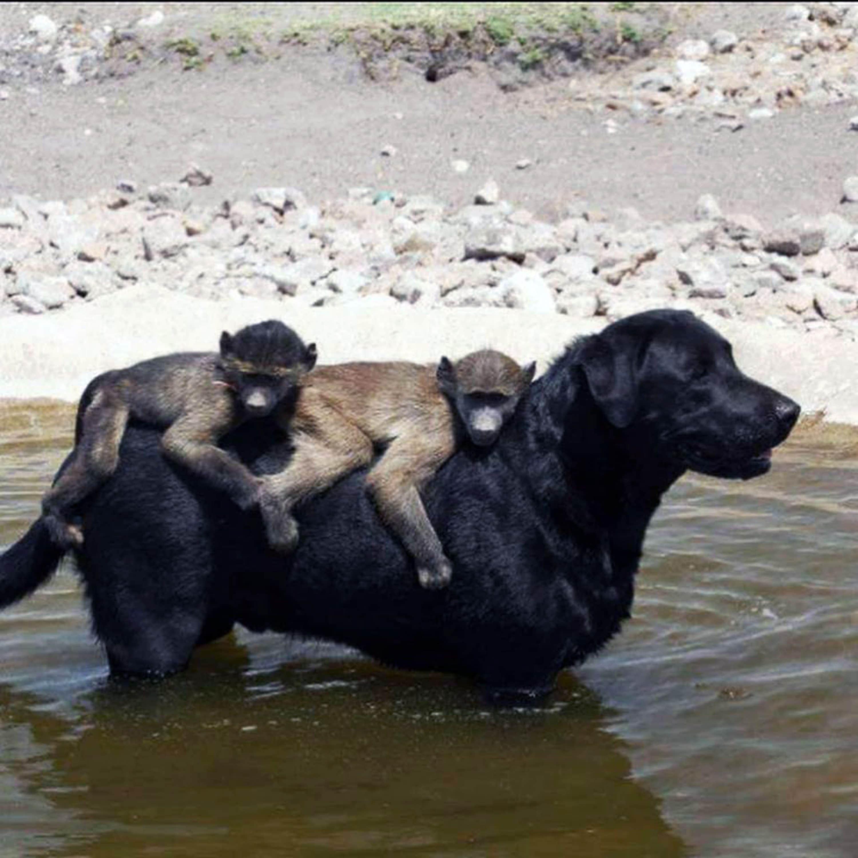 собака и бабуины