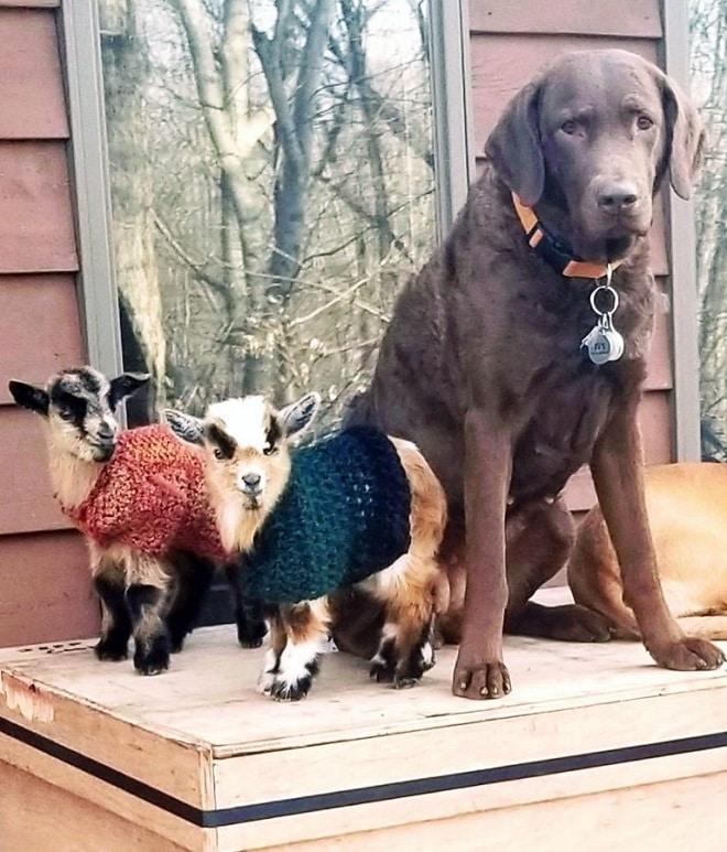 Собака и козлята