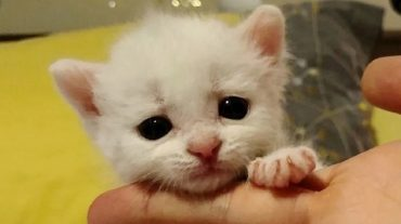 Tiny white kitten