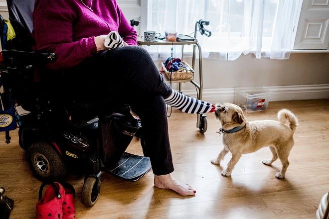 Собака стягивает носок