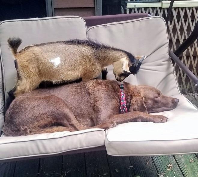 Собака и козленок