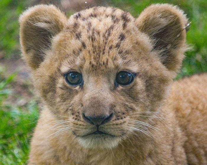 маленький львенок