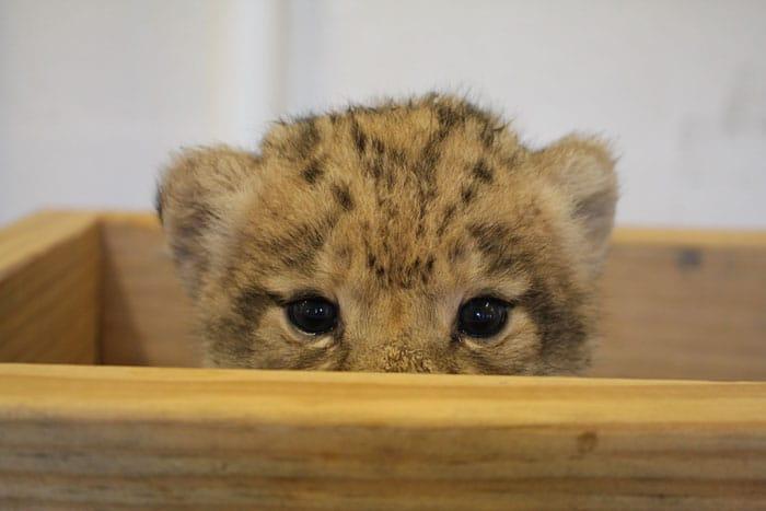львенок прячется