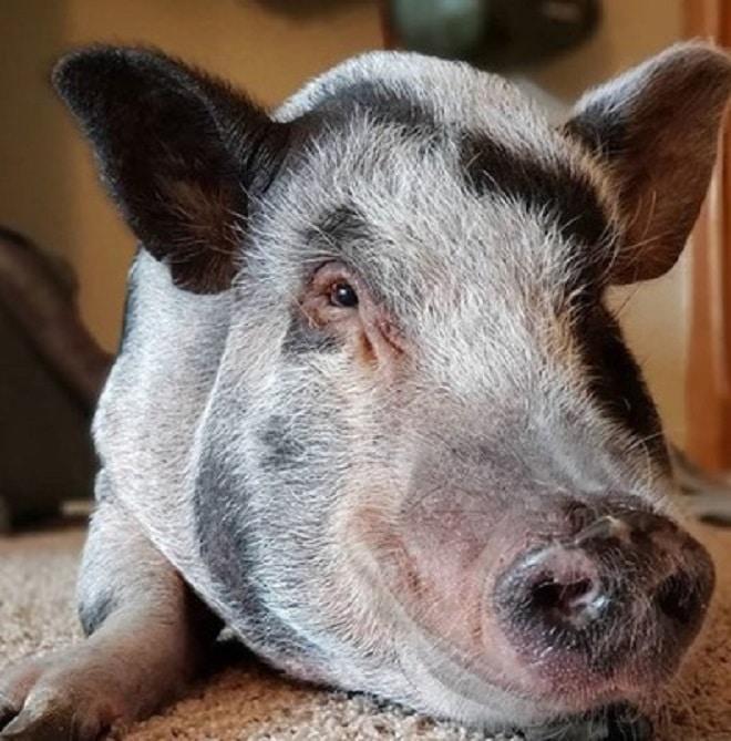 Свинка лежит