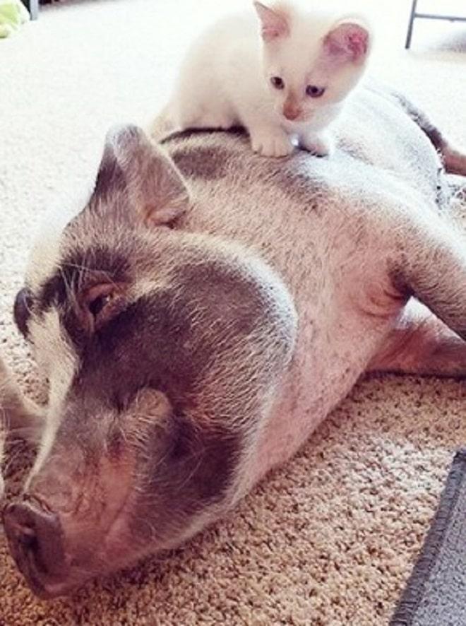Котенок и свинка
