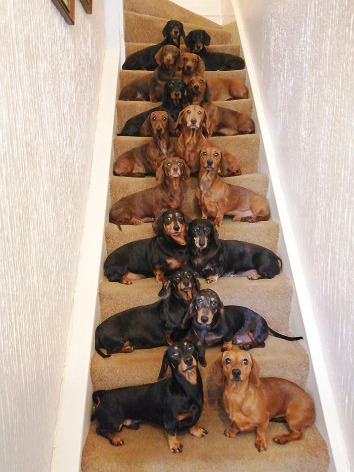 таксы на лестнице