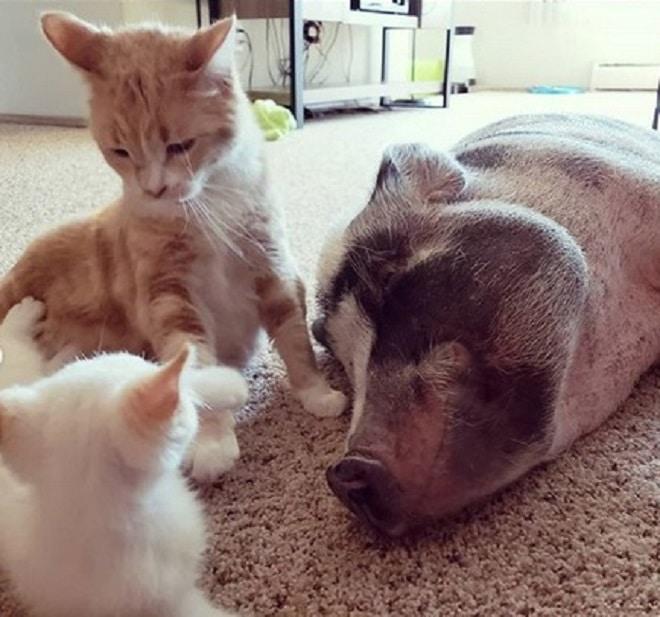 Свинка и коты