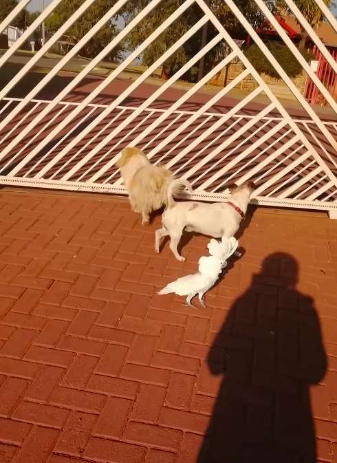две собаки и какаду
